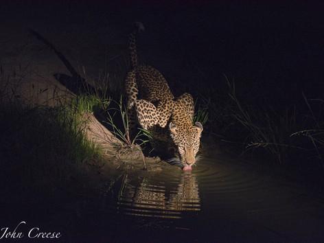 Thirsty Leopard #2