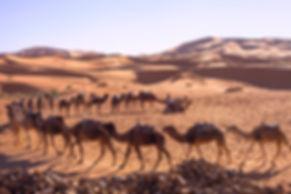 Camels Sahara Monika Krochmal gallery