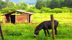 Mules and barn photo courtesy of Linda B