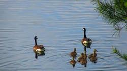 Ducks on Lake Glenville