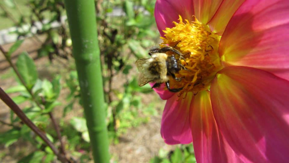 Dahlia & Bee at Village Green