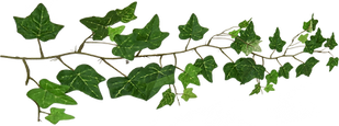 Ivy1_edited.png