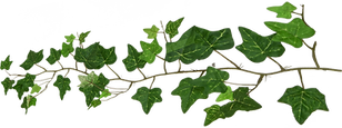 Ivy1.png