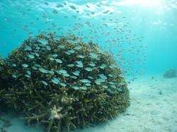 サンゴ (8)