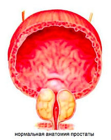 нрмалная ангатмия предстательной железы