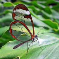 Crystal-winged butterfly. Native of Ecuador
