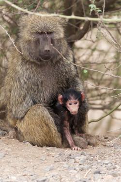 Ethiopie singes
