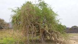 Ethiopie_arbre_du_désert