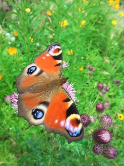 papillon de mon jardin