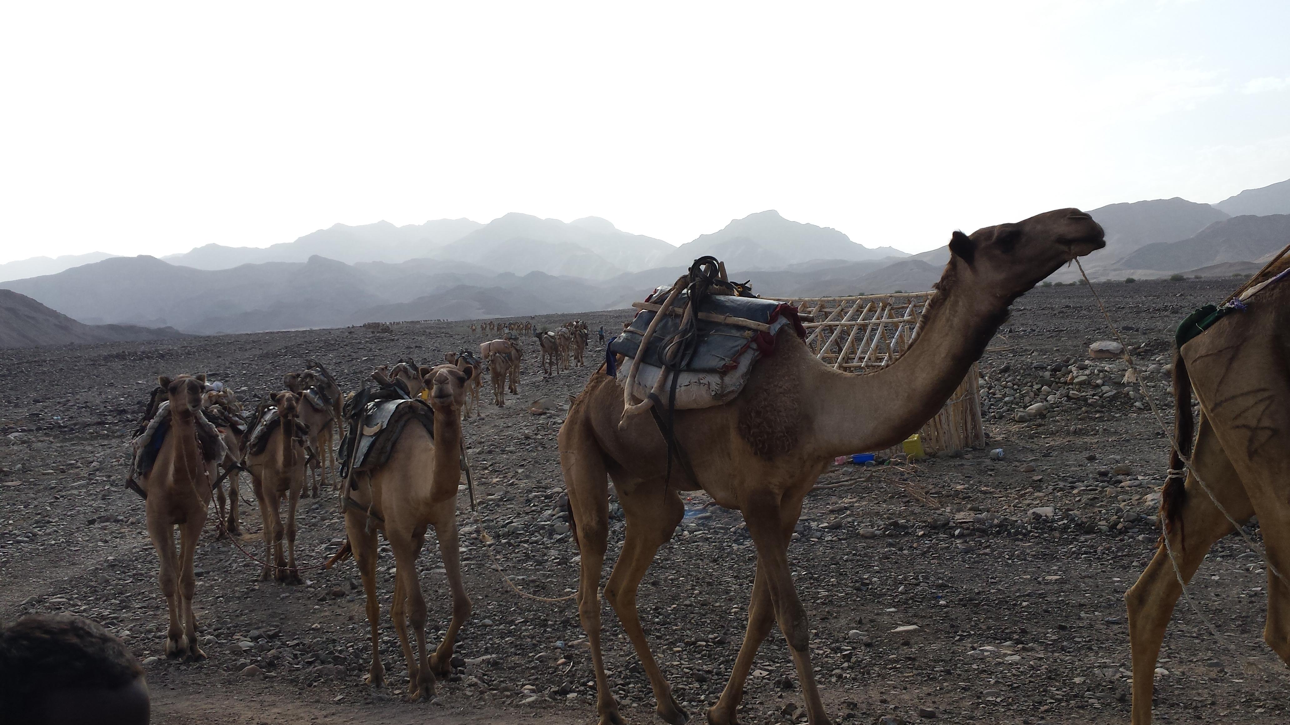 Ethiopie caravane de chameaux