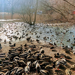 #19 High Park WATERFOWL STROLL