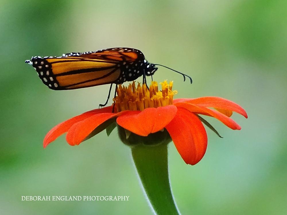 Monarch Butterfly on Orange flower.