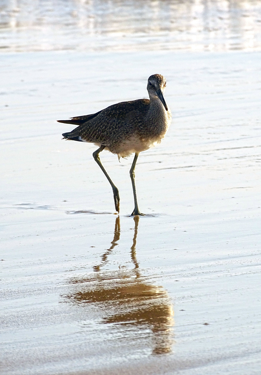 Sand Piper looking for dinner.