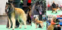 BSD Tervueren,stud dog,sire