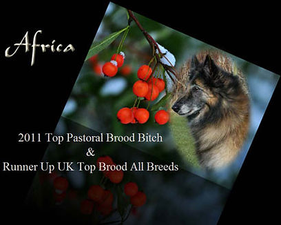 2011 Top Pastoral Brood Bitch, Domburg Out of Africa into Tintigny