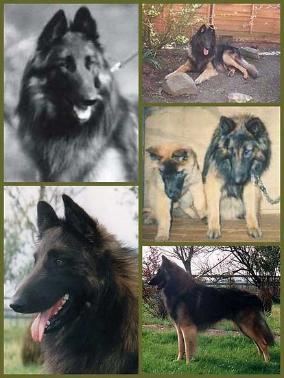 Cosworth, our first Belgian Shepherd Dog Tervueren