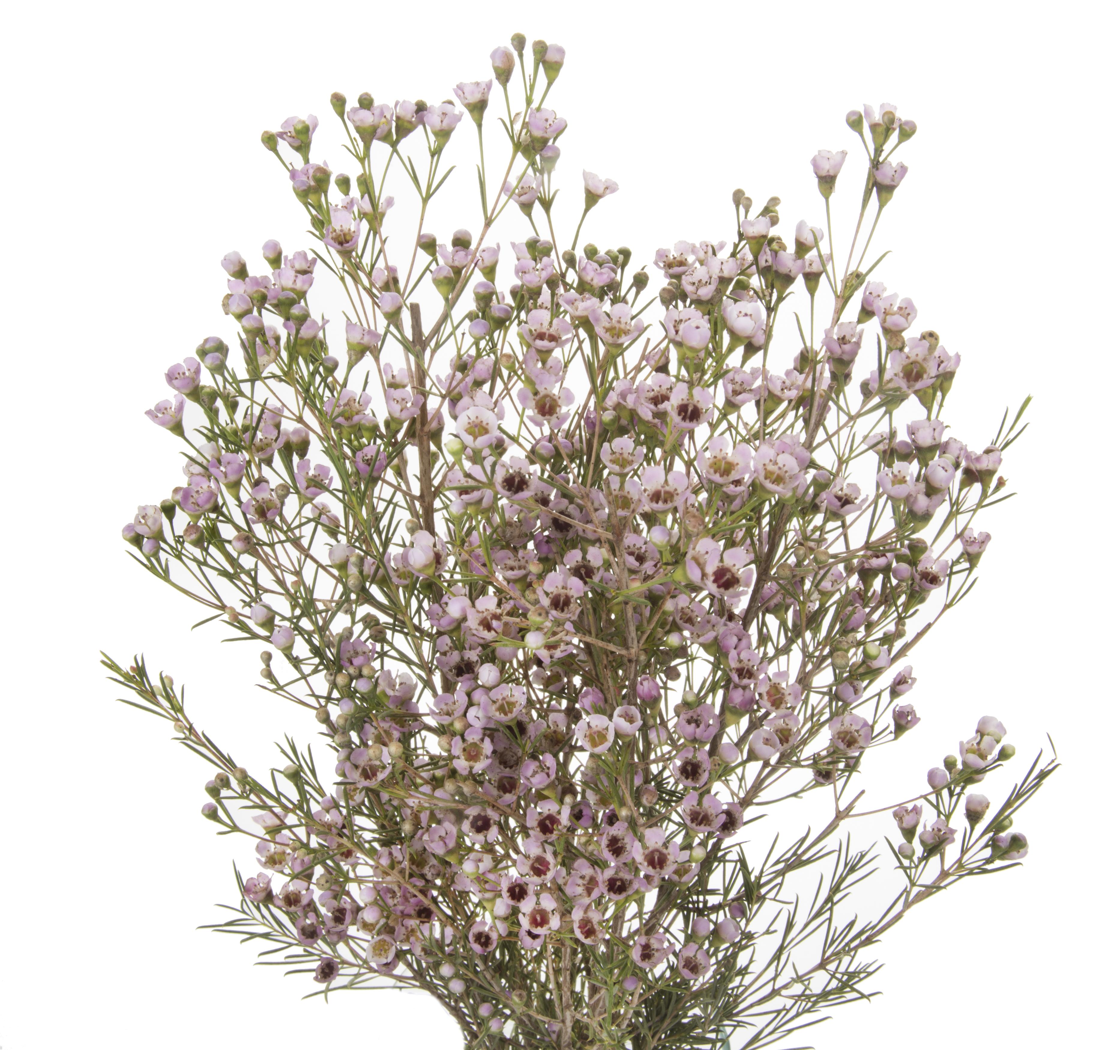 Wax Flower - pink