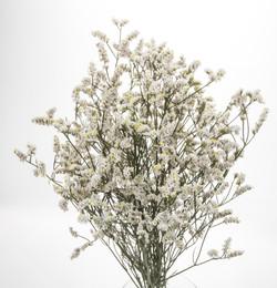 Sinensis - white