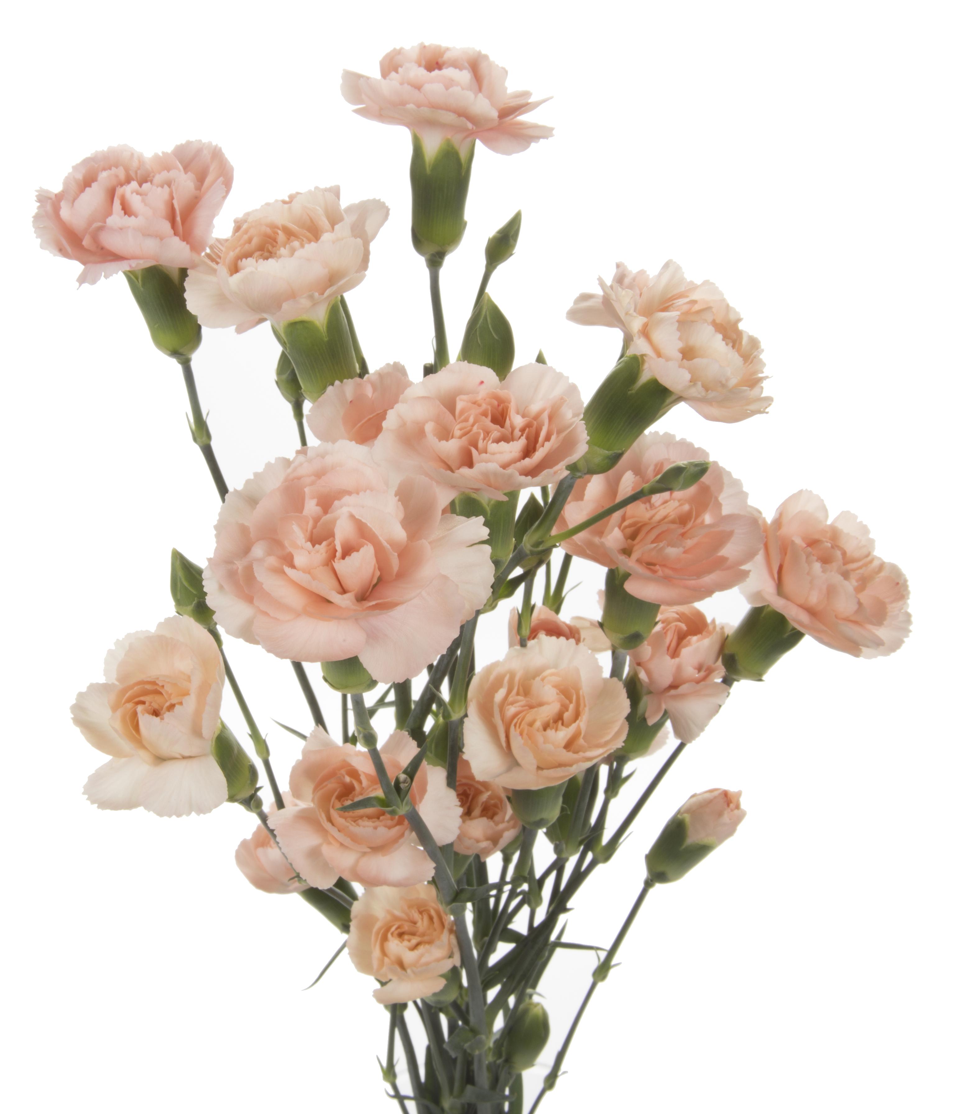 Carnation Mini - peach