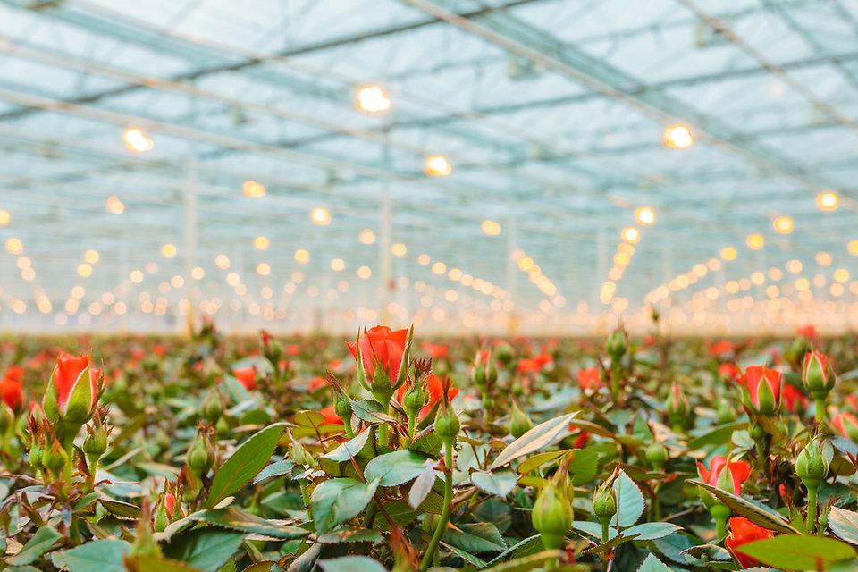 Red roses field.jpg