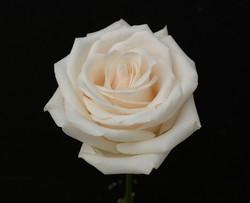 Vendela - white