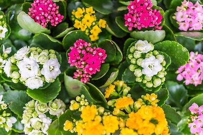 BLOOMING PLANTS - Krueger Wholesale Florist