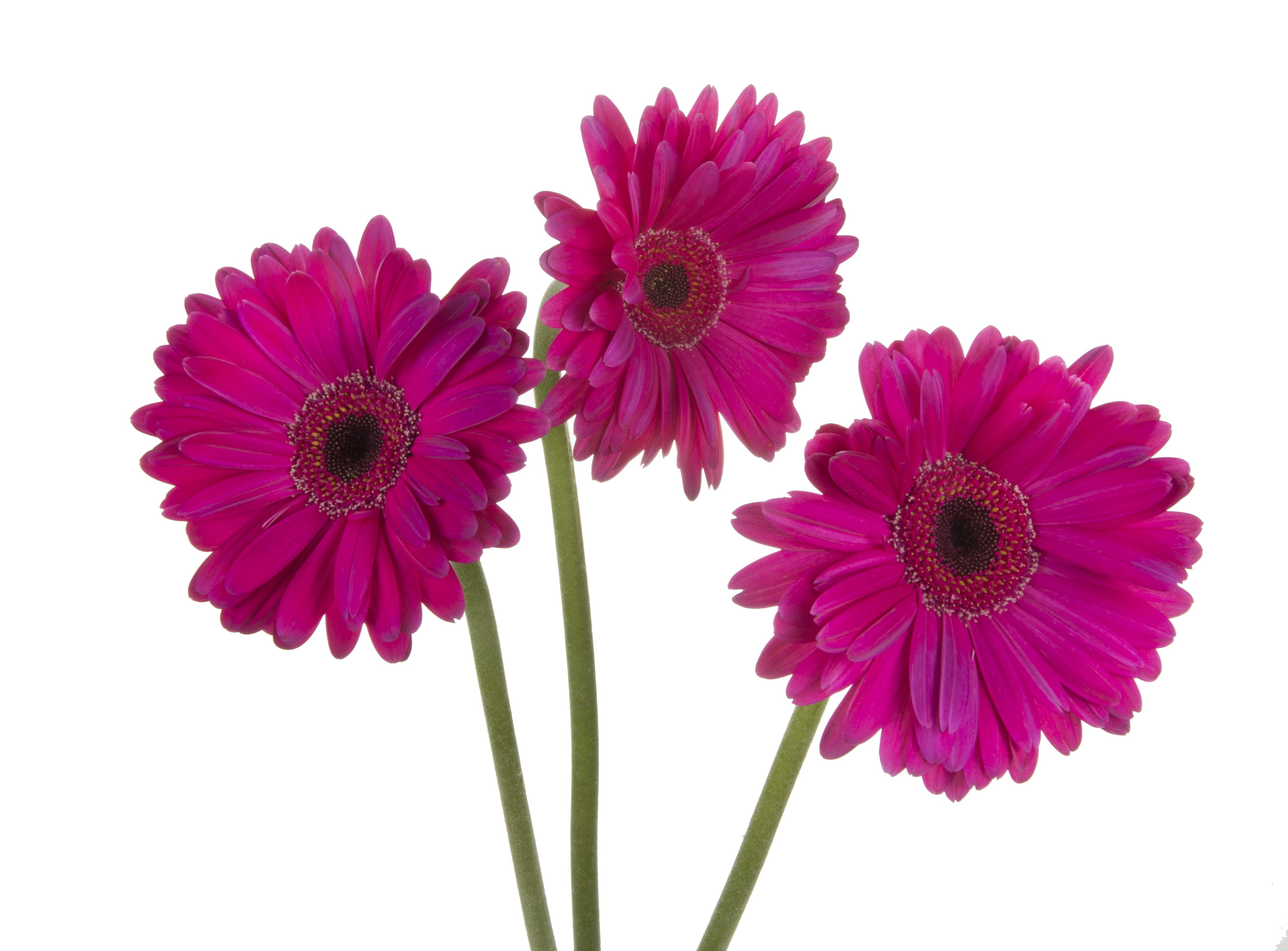 Gerbera - dark pink