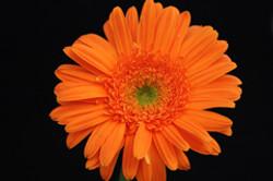 Lorca - orange