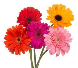Gerbera - mixed 5 stems