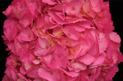 Tinted Pink Hydrangea