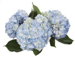 Hydrangea - blue