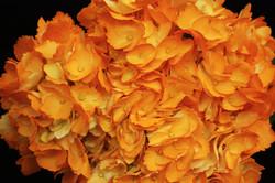 Hydrangea - tinted orange