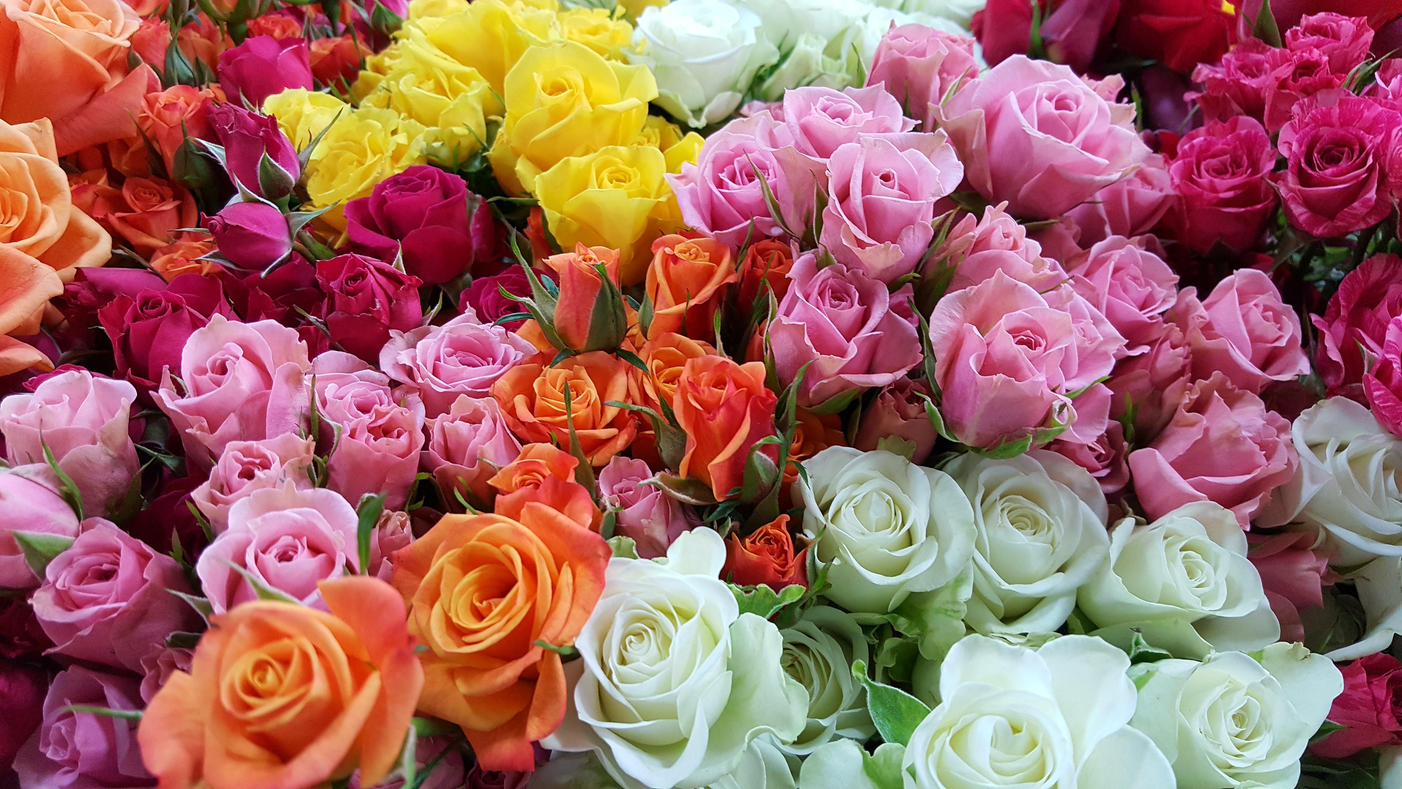 Spray Roses
