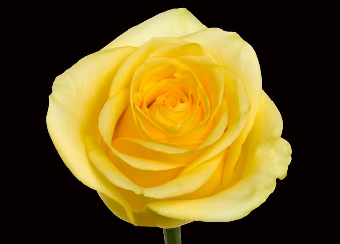 Citran - yellow
