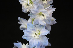 Elatum - light Blue
