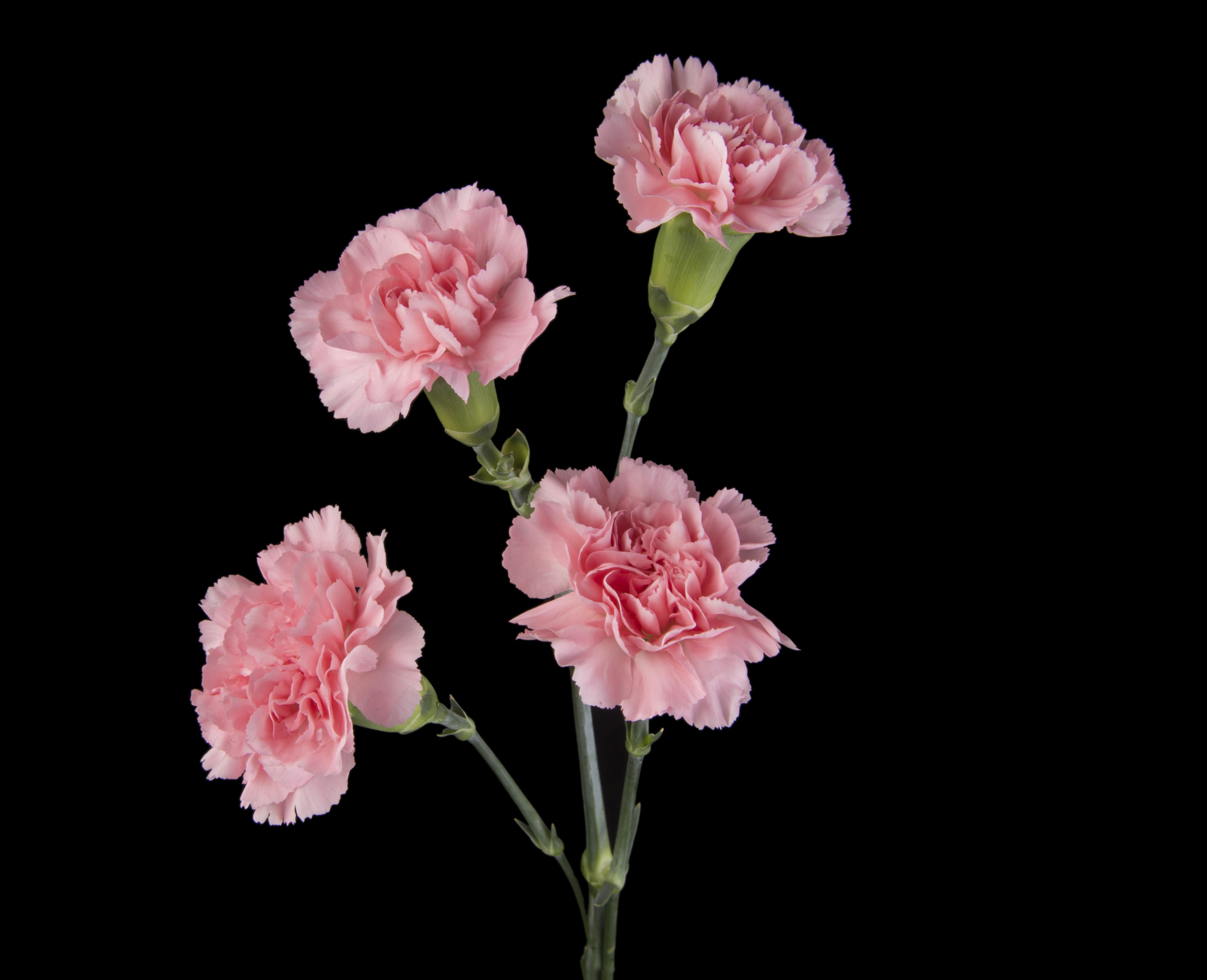Euforia - pink