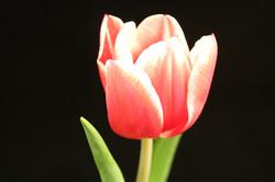 Bicolor Red-White Tulip
