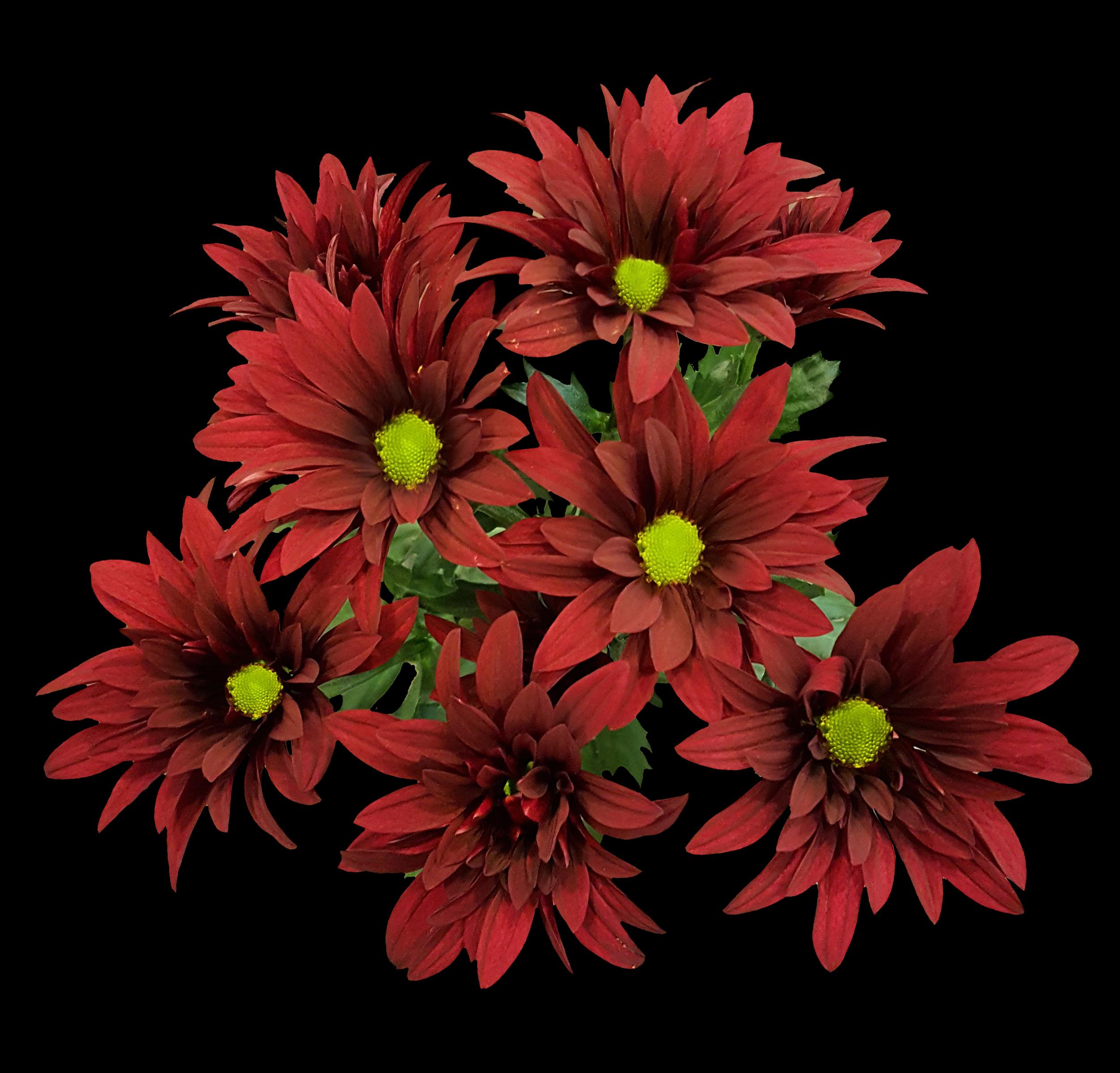 Brahma - red