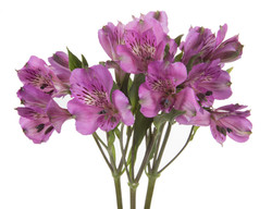 Alstroemeria - purple