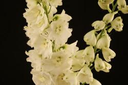 Elatum - white