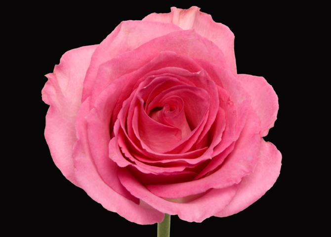 Sweet Unique - pink