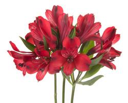 Alstroemeria - red