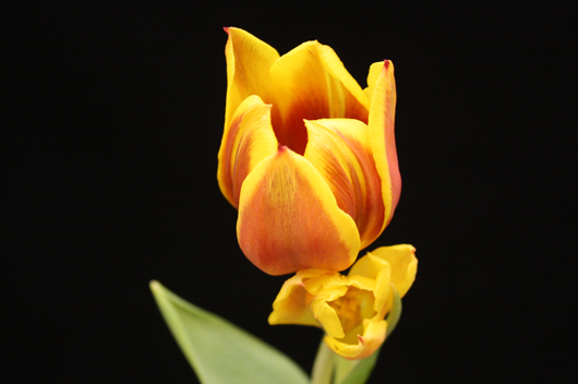 Bicolor Red-Yellow Tulip