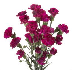 Carnation Mini - purple