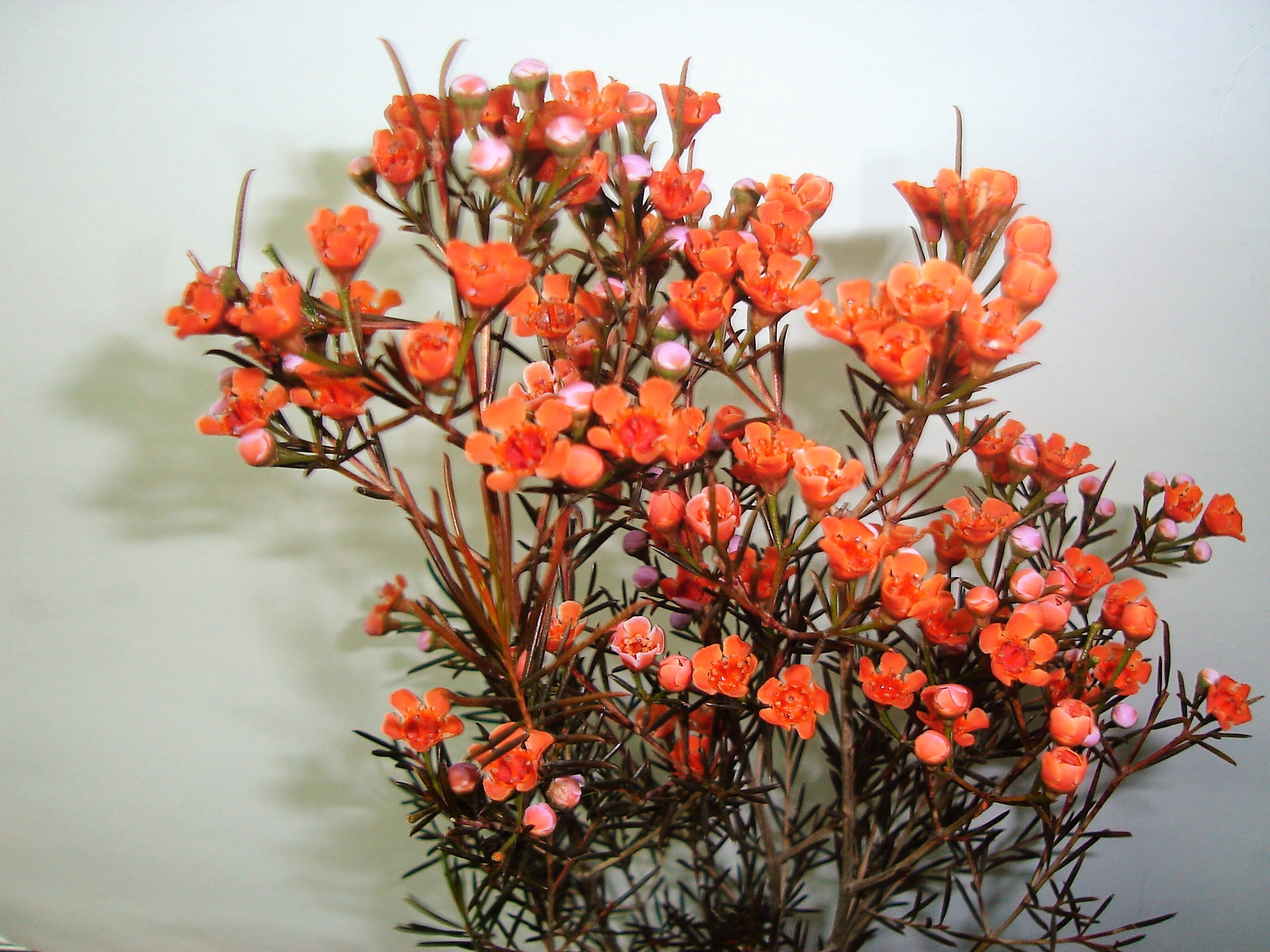 Wax Flower - tinted orange