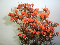 Wax Flower - tinted orange