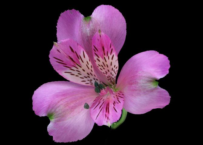 Stratus - lavender