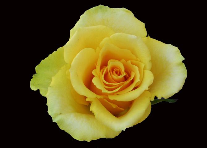 Idole - yellow