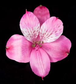 Navarro - hot pink