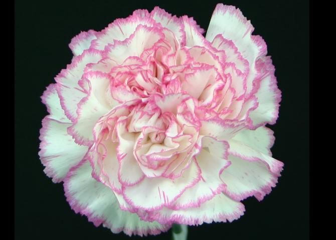 Komachi - novelty pink